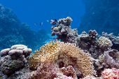 stock photo of fire coral  - coral reef with hard and fire coral at the bottom of red sea in egypt - JPG