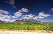 picture of south-western  - vineyard in the hills around Cape Town Stellenbosch South Africa - JPG