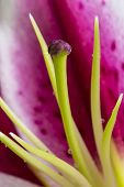 foto of stargazer-lilies  - An abstract composition of a stargazer lily - JPG