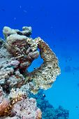 image of fire coral  - coral reef with yellow fire coral at the bottom of red sea in egypt - JPG