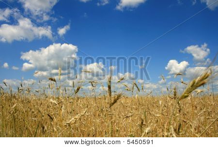 Ripe Wheat Against The Blue Sky