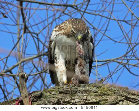 Red-tailed Hawk Feeding On Rat