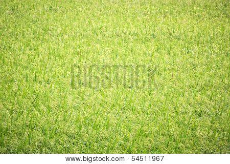 Green Paddy