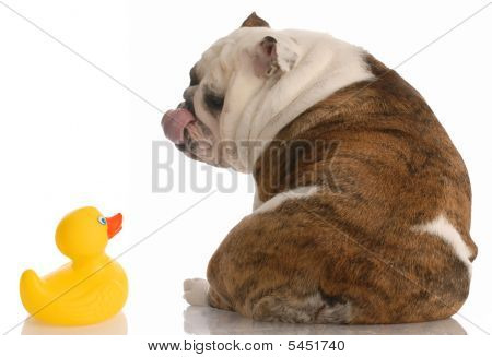 Bulldog Loving Rubber Duck