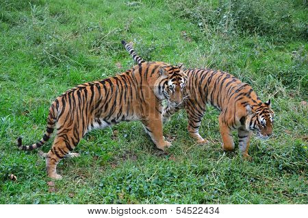 Two Going Tiger