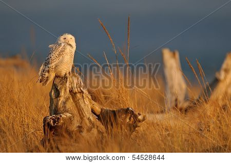 Snowy Owl in Golden Light of Sunset