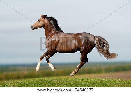 Pony In Field Galloping