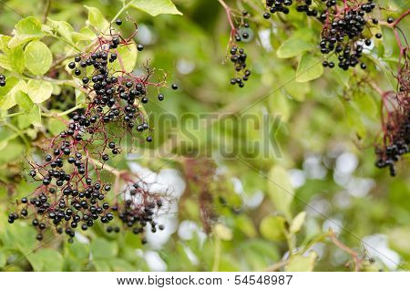 Twig Of Elderberry With Ripe Fruits