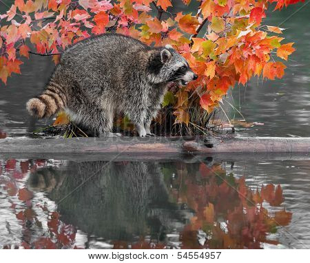 Raccoon (Procyon lotor) Vocalizes On Log With Reflection