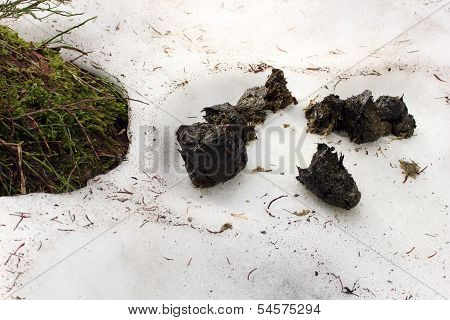 Brown Bear Excrements On Snow