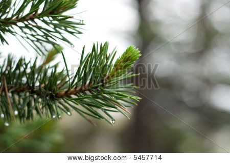 Branch Of The Pine