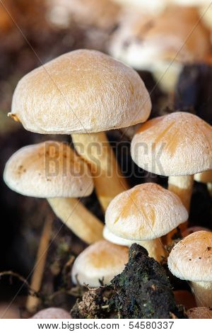 changeable pholiota - Kuehneromyces