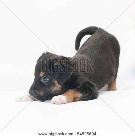 Small Black Puppy With Brown Spots Plays