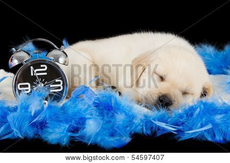 Labrador Puppy Sleeping On Blue Feathers With Alarm Clock