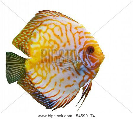 Tropical Fish Diskus