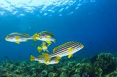 stock photo of school fish  - School of Fish underwater on coral reef - JPG