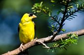foto of goldfinches  - Male American Goldfinch Perched in a Tree
