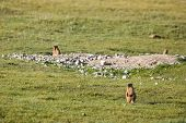 Marmots in the field