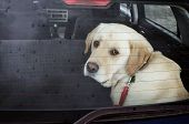 foto of nose drops  - sad dog in the car in the rain - JPG