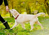 stock photo of fluffy puppy  - running golden retriever puppy with the handler - JPG