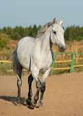stock photo of dapple-grey  - gray horse running close up in paddock - JPG