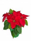 pic of poinsettias  - Red poinsettia  - JPG