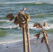 Palm Trees In Destin, Florida poster