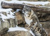 image of snow-leopard  - Snow leopard in the snow covered mountains - JPG