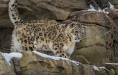 picture of snow-leopard  - Snow leopard in the snow covered mountains - JPG