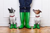 image of petting  - two terrier dogs waiting to go walkies in the rain at the front door at home - JPG