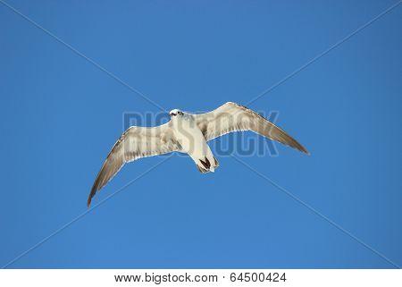 Sea Gull Soaring over the Beach