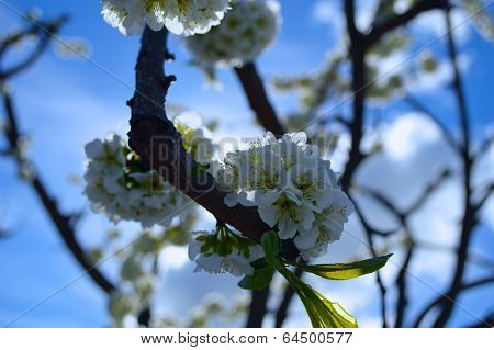 Damson Plum Flowers