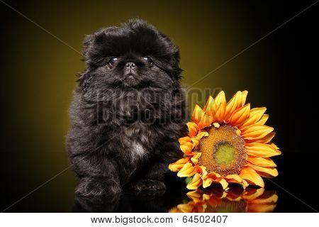 Pekinese Puppy Portrait