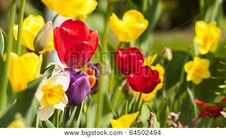 Tulip And Narcissus