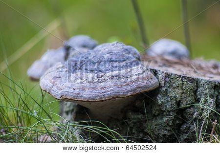 Ganoderma Lucidum Mushroom.bracket Fungus