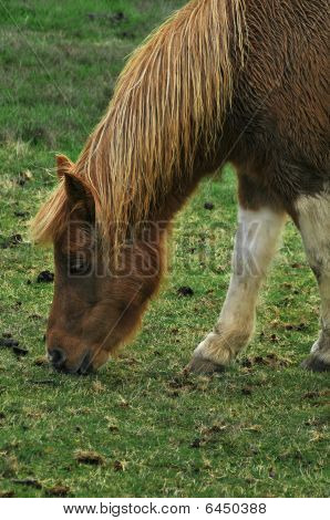 Wet Pony Eating Grass In Front Of Barn