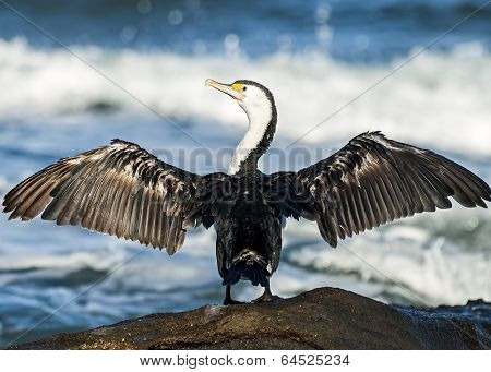 Australian Pied Cormorant With Outstretched Wings