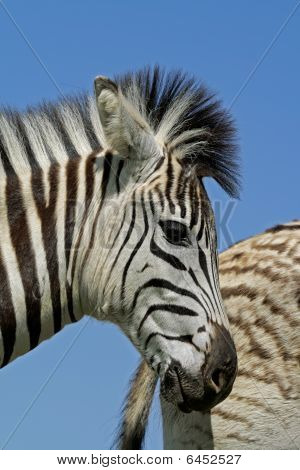 Plains Zebra Portrait, South Africa