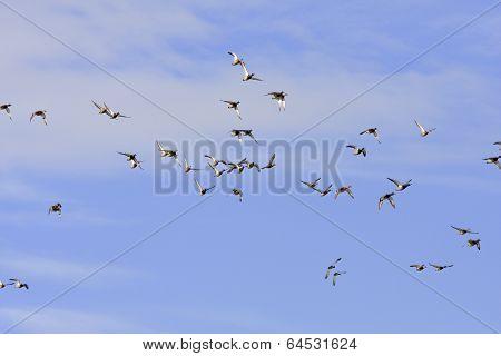 Anas platyrhynchos - Mallard - Wild Duck in the sky.