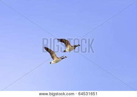 A couple of Canada Goose, Branta canadensis in the sky.