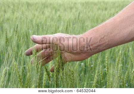 Man's Hand Touching Spicas Of Wheat