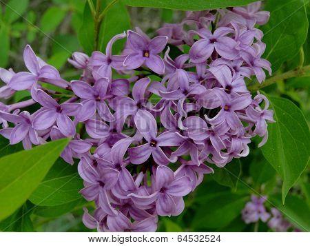 Lilacs - Spring Frangrance