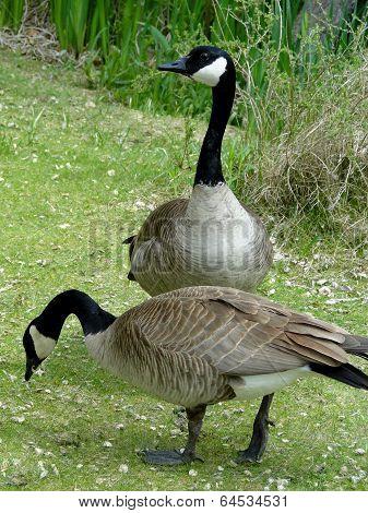 Goose and Gander