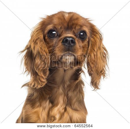 Headshot of a Cavalier King Charles Spaniel puppy (5 months old)