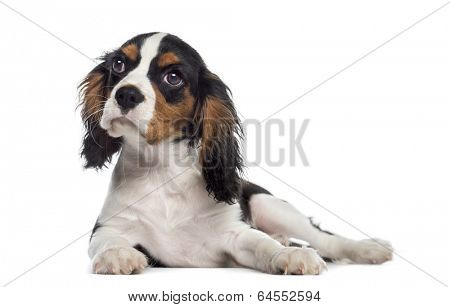Cavalier King Charles Spaniel puppy lying down (19 weeks old)