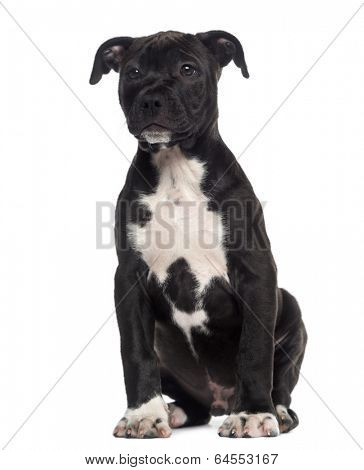 American Staffordshire Terrier puppy sitting (3 months old)
