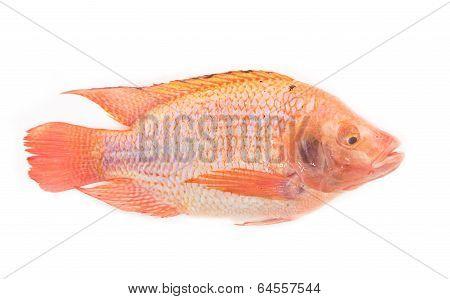 Fresh Red Nile Tilapia Fish (oreochromis Niloticus) On White