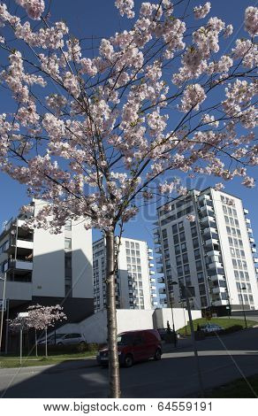 Cherry Blossom And Architecture