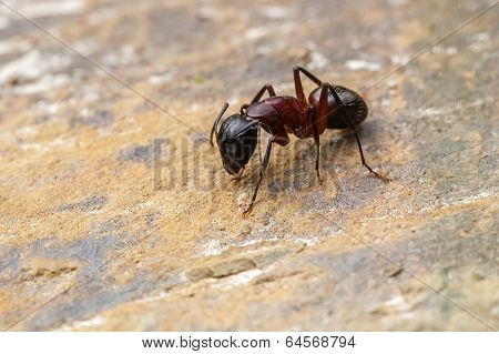 Creepy Ant Rests On Rock