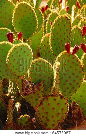 Sabra Prickly Pear Cactus With Fruit